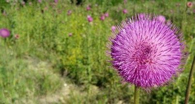 Fleur violette au soleil